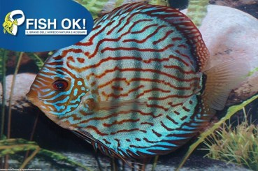 SYMPHYSODON AEQ. DISCUS RED TURQUOISE
